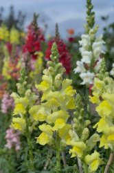 Antirrhinum, Lejongap Rocket Mix F.1
