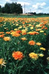 Calendula officinalis, Ringblomma, Pacific Beauty
