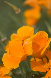 Eschscholzia californica, Sömntuta Orange