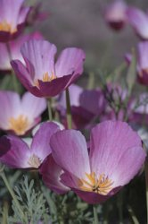 Eschscholzia californica, Sömntuta Purple Gleam