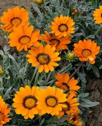 Gazania splendens, Påfågelsblomster Talent Orange