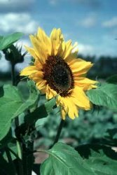Helianthus annuus, Solros Holiday