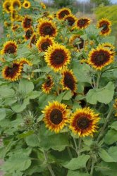 Helianthus annuus, Solros Ring of Fire