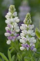Lupinus pubescens, Sommarlupin Pixie Delight