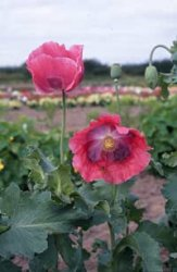 Papaver somniferum, Vallmo The Giant