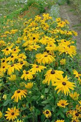 Rudbeckia hirta, Sommarrudbeckia Indian Summer
