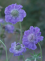 Scabiosa caucasica, Perfection Blue flerårig