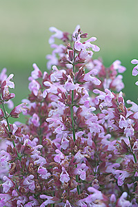 Kryddsalvia, Salvia officinalis, Common ekologiskt frö