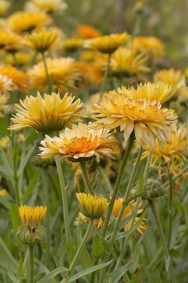 Calendula officinalis, Ringblomma, Apricot Beauty