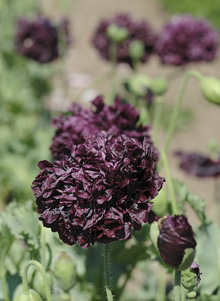 Papaver paeoniflorum, Pionvallmo Double Black