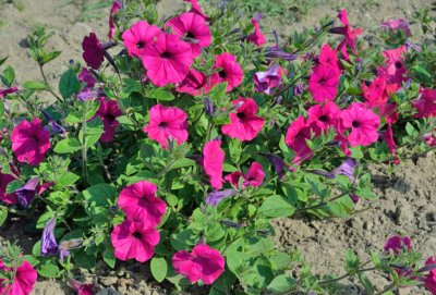 Petunia x hybrida, Fortunia Purple Wave F.1 pelleterat frö