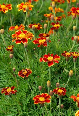 Tagetes patula, Sammetstagetes Favourite Red
