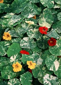 Tropaeolum majus, Indiankrasse Out of Africa